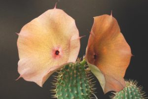 What does hoodia do to our body